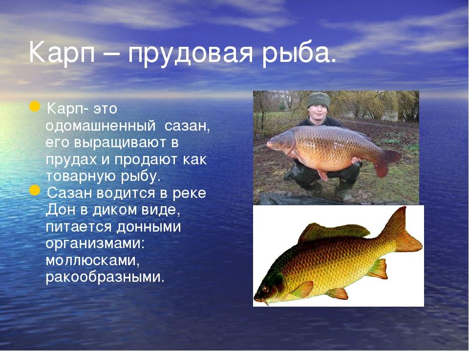 Карп – прудовая рыба. Карп- это одомашненный сазан, его выращивают в прудах и...