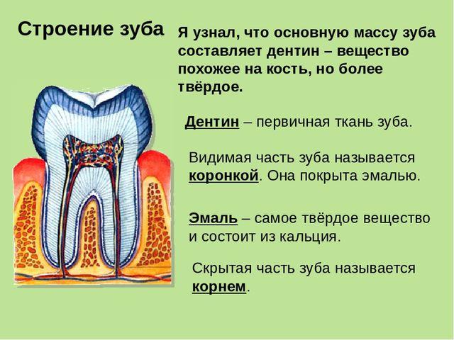 Скрытая часть зуба называется корнем. Строение зуба Я узнал, что основную мас...