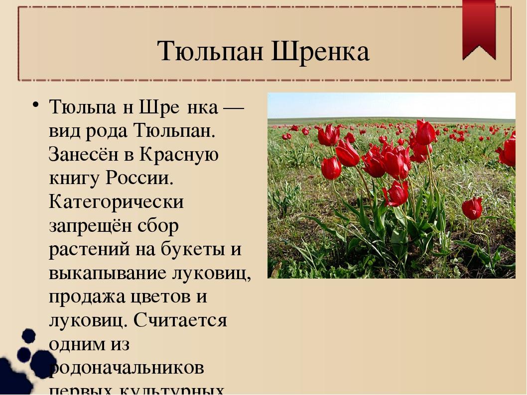 Тюльпан Шренка Тюльпа́н Шре́нка — вид рода Тюльпан. Занесён в Красную книгу Р...