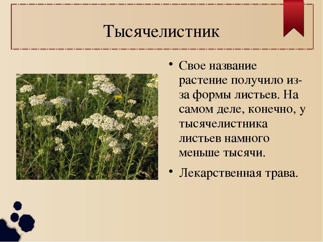 Тысячелистник Свое название растение получило из-за формы листьев. На самом д...