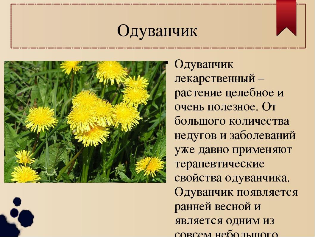 Одуванчик Одуванчик лекарственный – растение целебное и очень полезное. От бо...