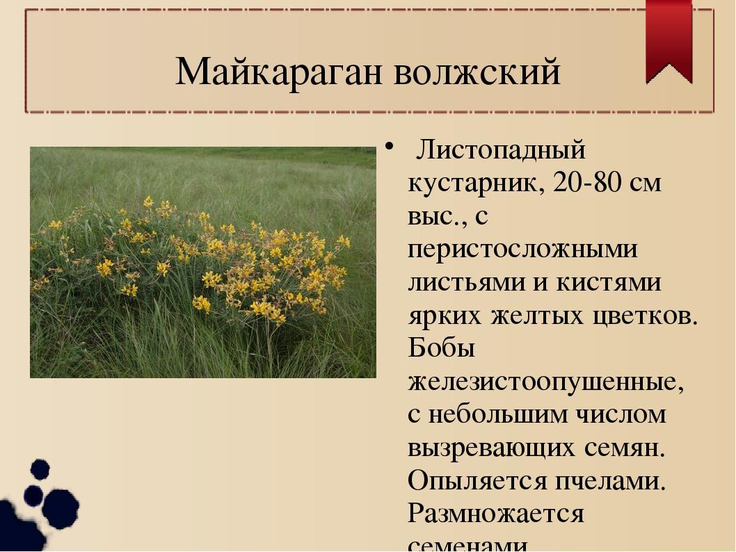 Майкараган волжский Листопадный кустарник, 20-80 см выс., с перистосложными л...