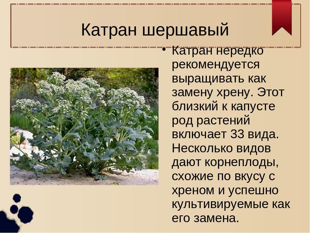 Катран шершавый Катран нередко рекомендуется выращивать как замену хрену. Это...