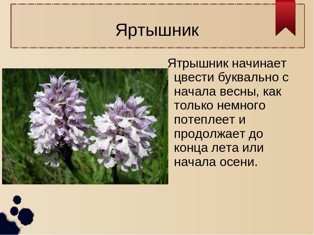 Яртышник Ятрышник начинает цвести буквально с начала весны, как только немног...