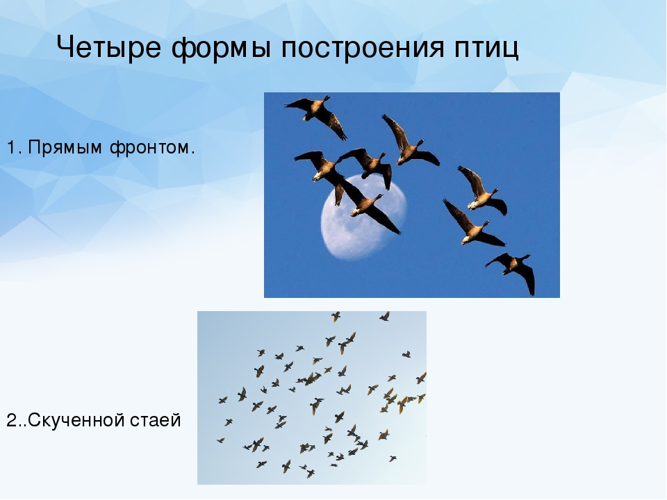 эта будет виды построения птиц в стае шеренга картинка универсальный