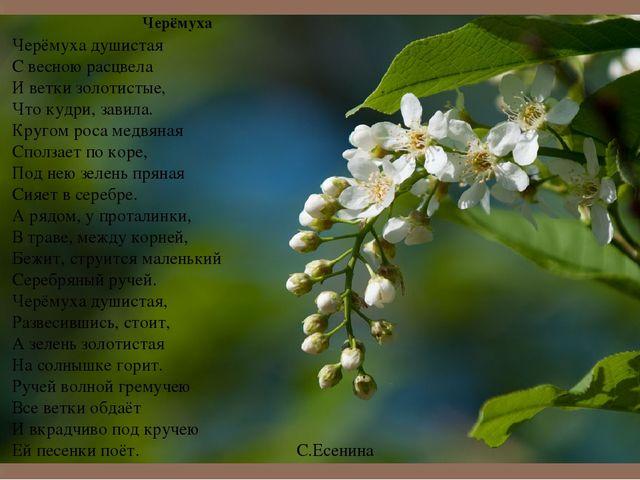 С расцвела гдз черёмуха весною душистая