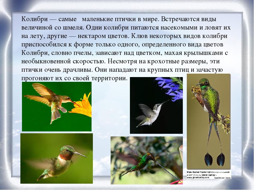 колибри описание птицы самый странный