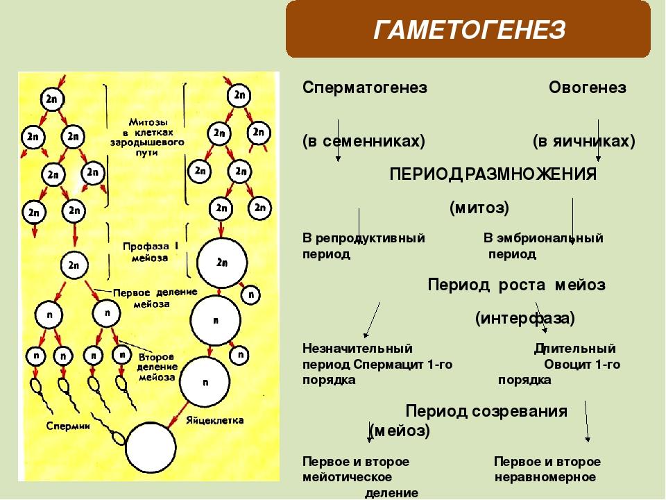 vremya-sozrevanie-spermatazoidov