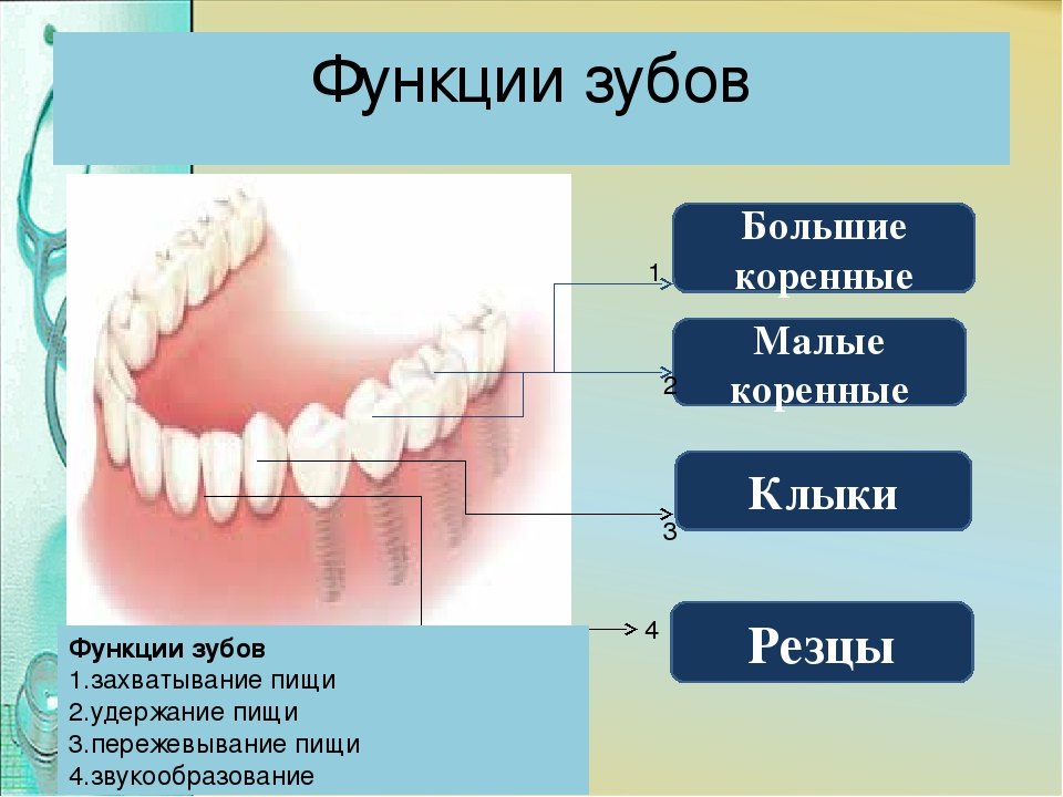 типы зубов человека в картинках сперва