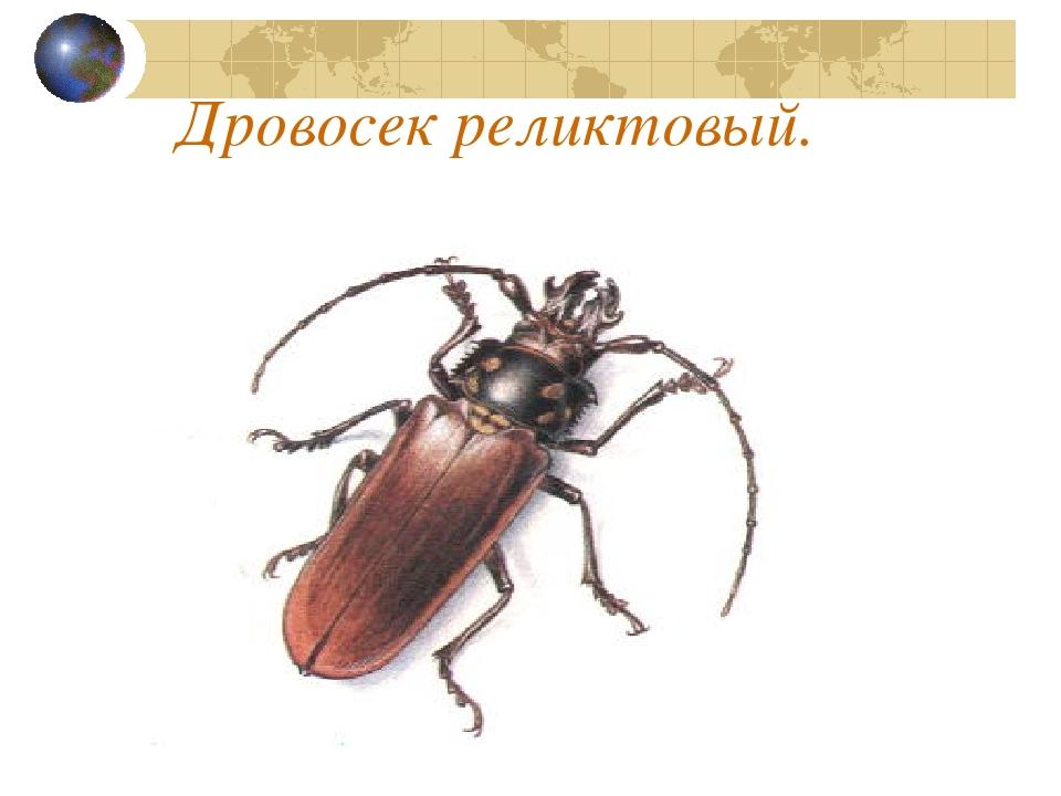 Картинка дровосек реликтовый