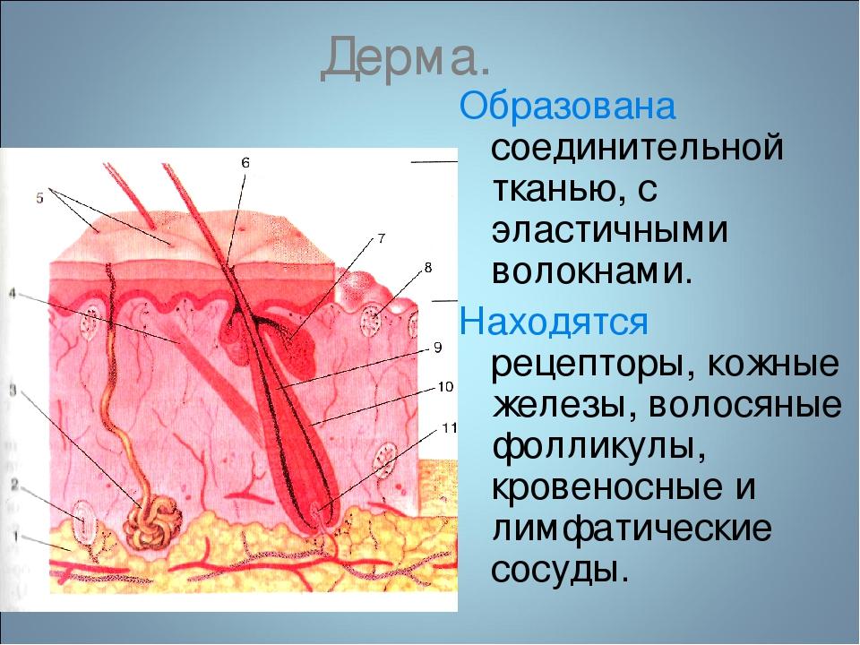 Дерма. Образована соединительной тканью, с эластичными волокнами. Находятся...