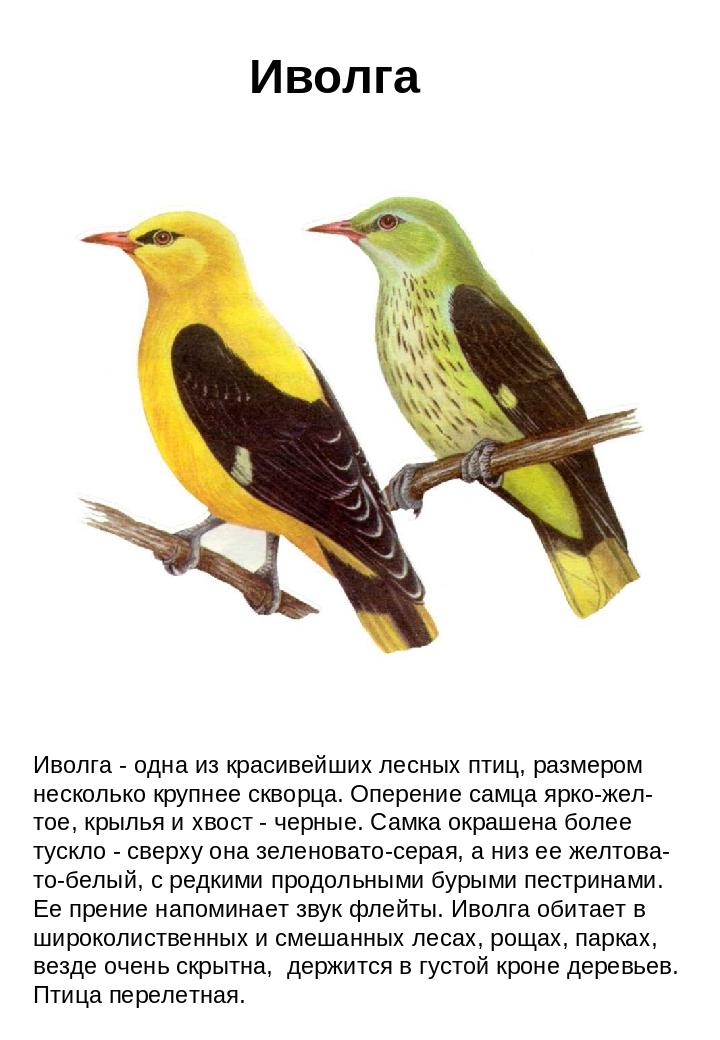 Иволга фото птицы и описание тому