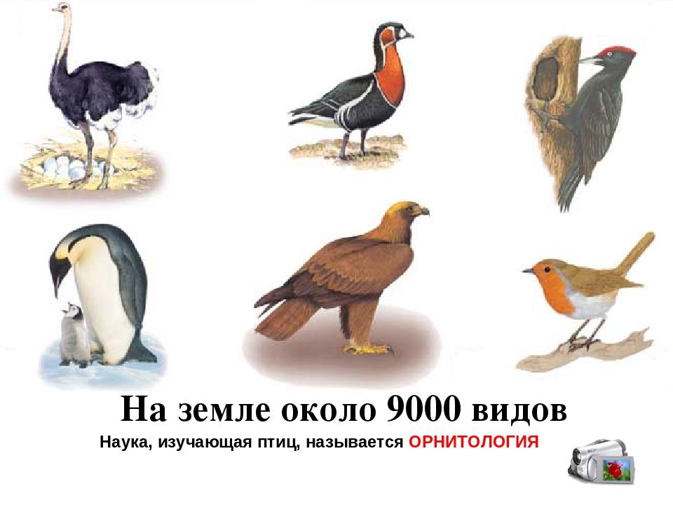 На земле около 9000 видов Наука, изучающая птиц, называется ОРНИТОЛОГИЯ