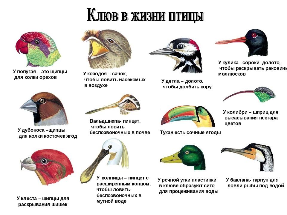 У попугая – это щипцы для колки орехов У козодоя – сачок, чтобы ловить насеко...