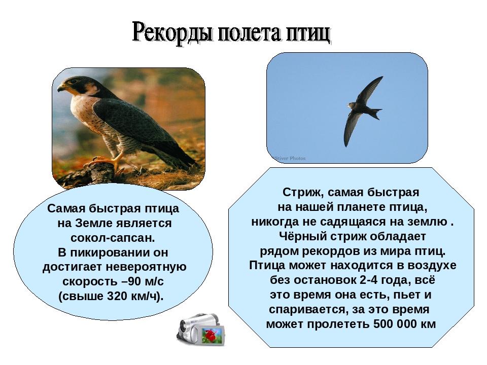 Самая быстрая птица на Земле является сокол-сапсан. В пикировании он достига...