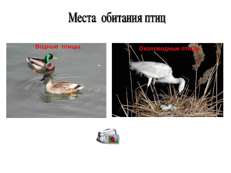Водные птицы Околоводные птицы