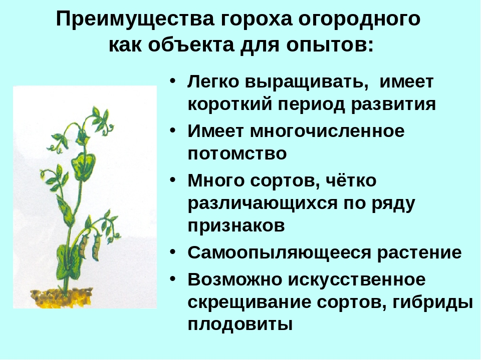 Преимущества гороха огородного как объекта для опытов: Легко выращивать, имее...