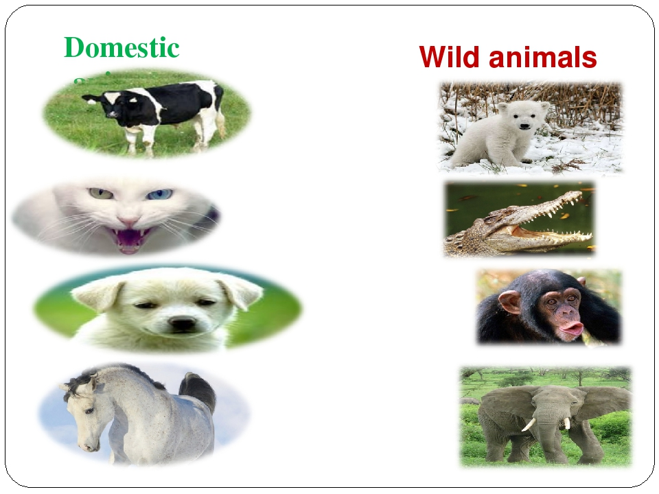 domestic and wild animals Teach your child all about wild animals, their babies and their homes with this interactive wild animals lesson plan check out more science lessons and educational videos for preschool.