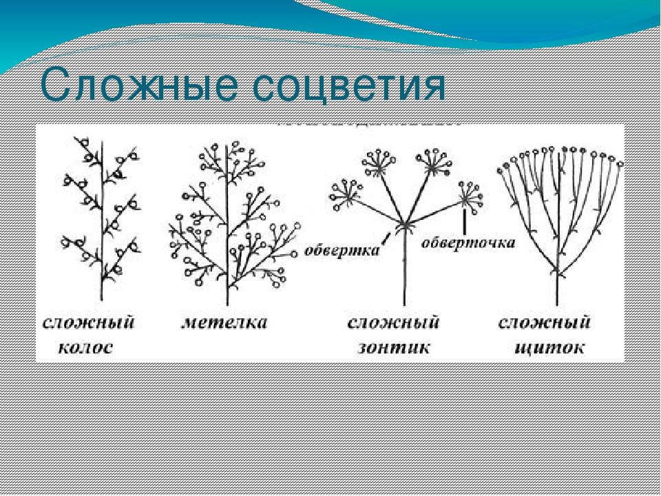 виды соцветий с картинками какая