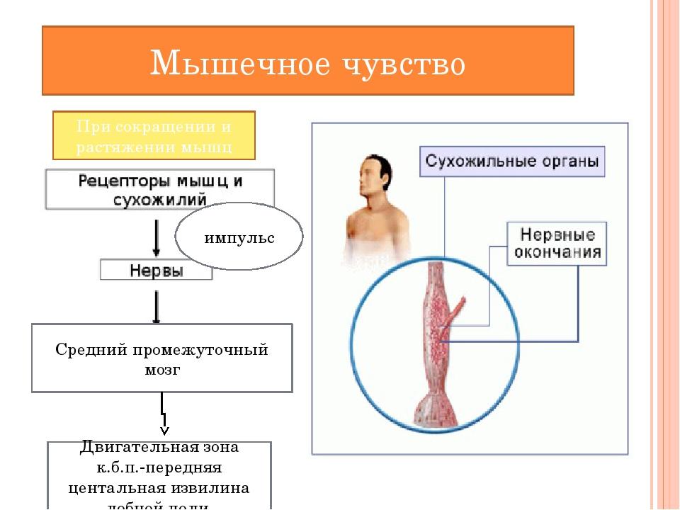 Мышечное чувство Средний промежуточный мозг Двигательная зона к.б.п.-передня...