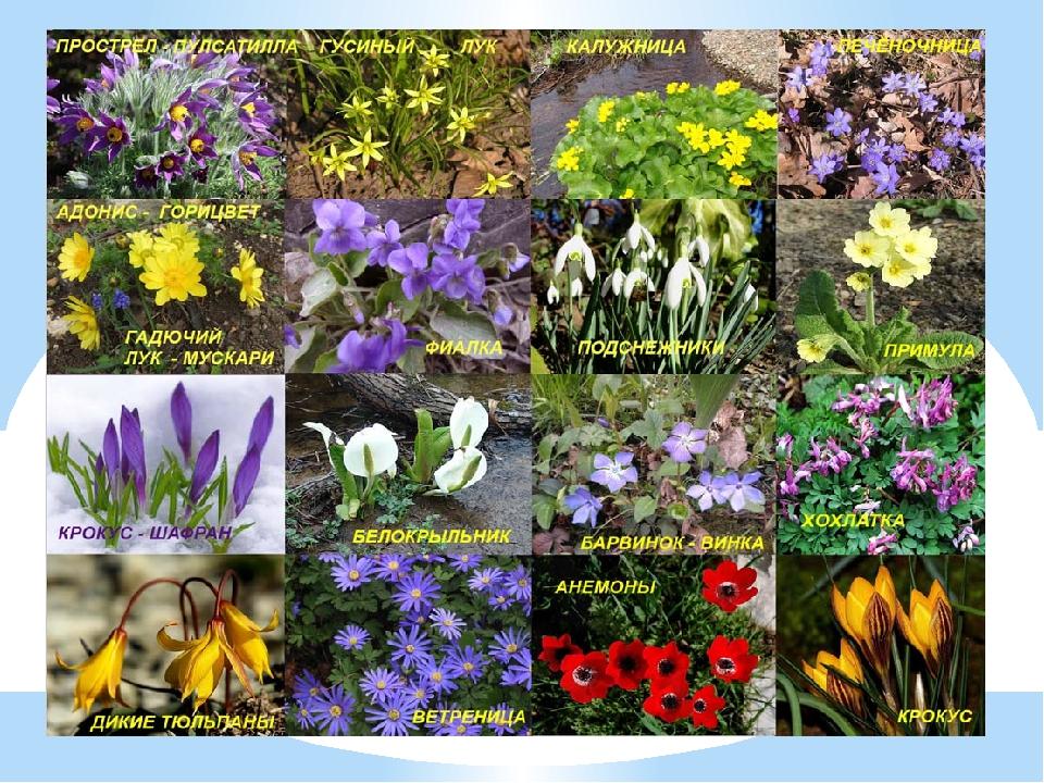 весенние первоцветы картинки с названиями для детей ведущих