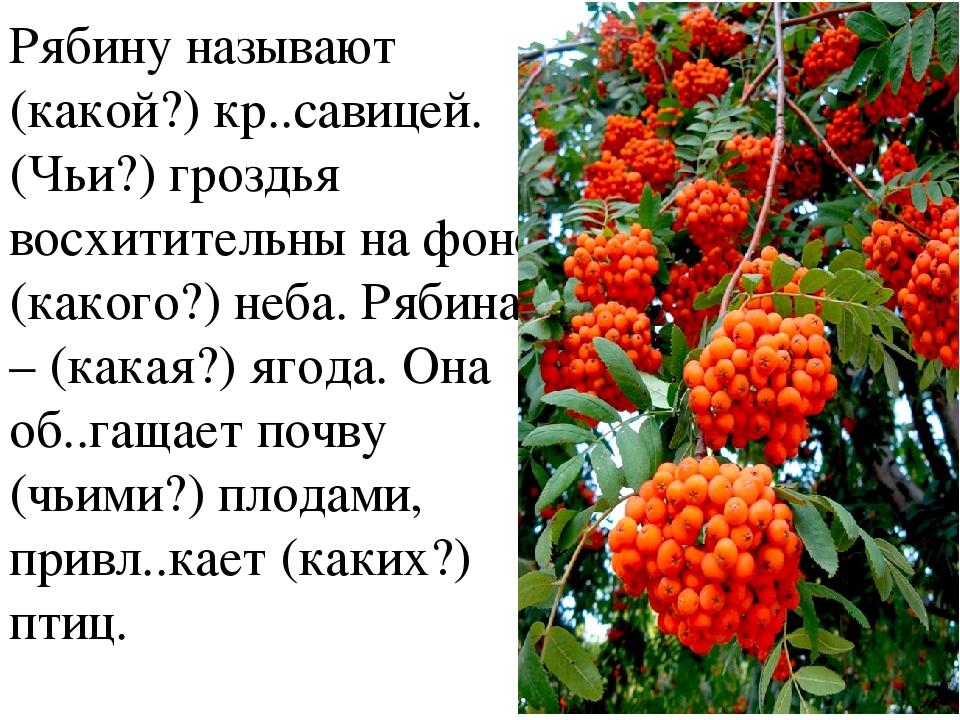 Рябину называют (какой?) кр..савицей. (Чьи?) гроздья восхитительны на фоне (к...