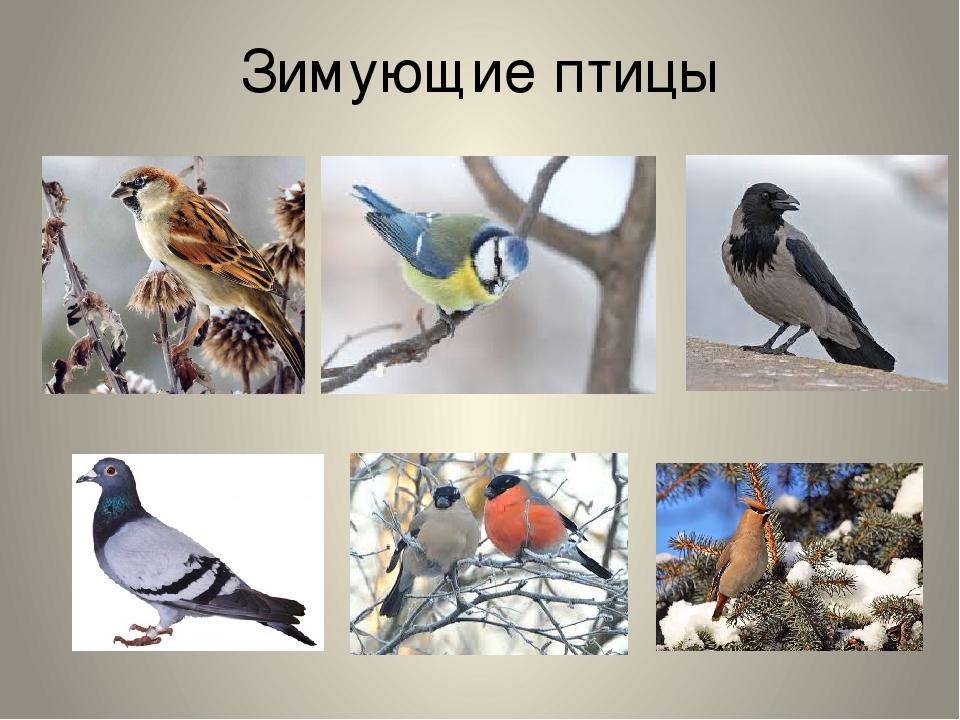 птицы которые зимуют в беларуси картинки других
