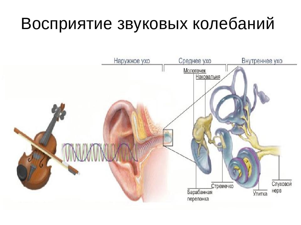 Восприятие звуковых колебаний