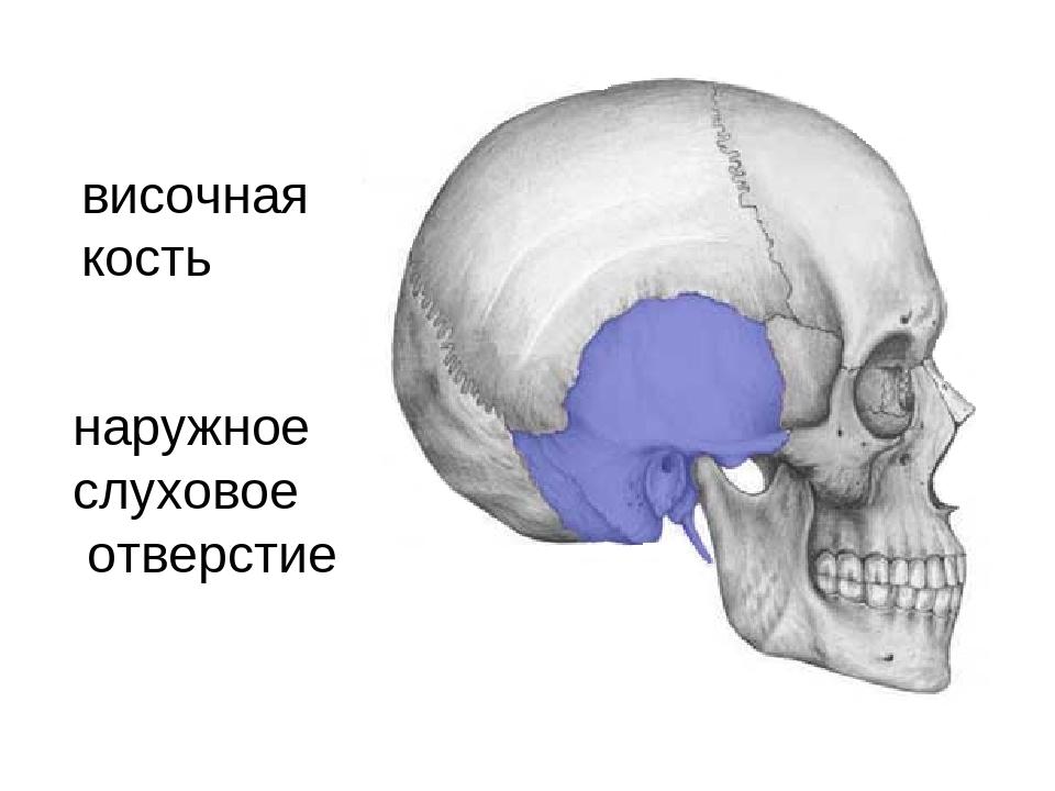 височная кость наружное слуховое отверстие