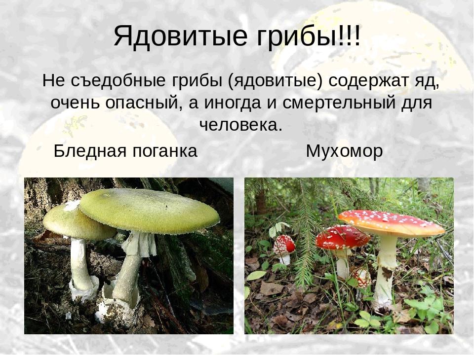 неловко ядовитые грибы и ягоды фото и описание споты большой выбор