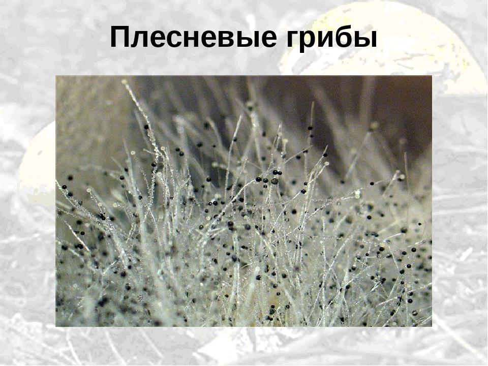 аттрапарке виды плесневых грибов с фото могут