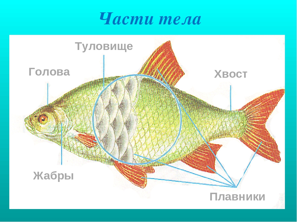 Схема строения тела рыбы