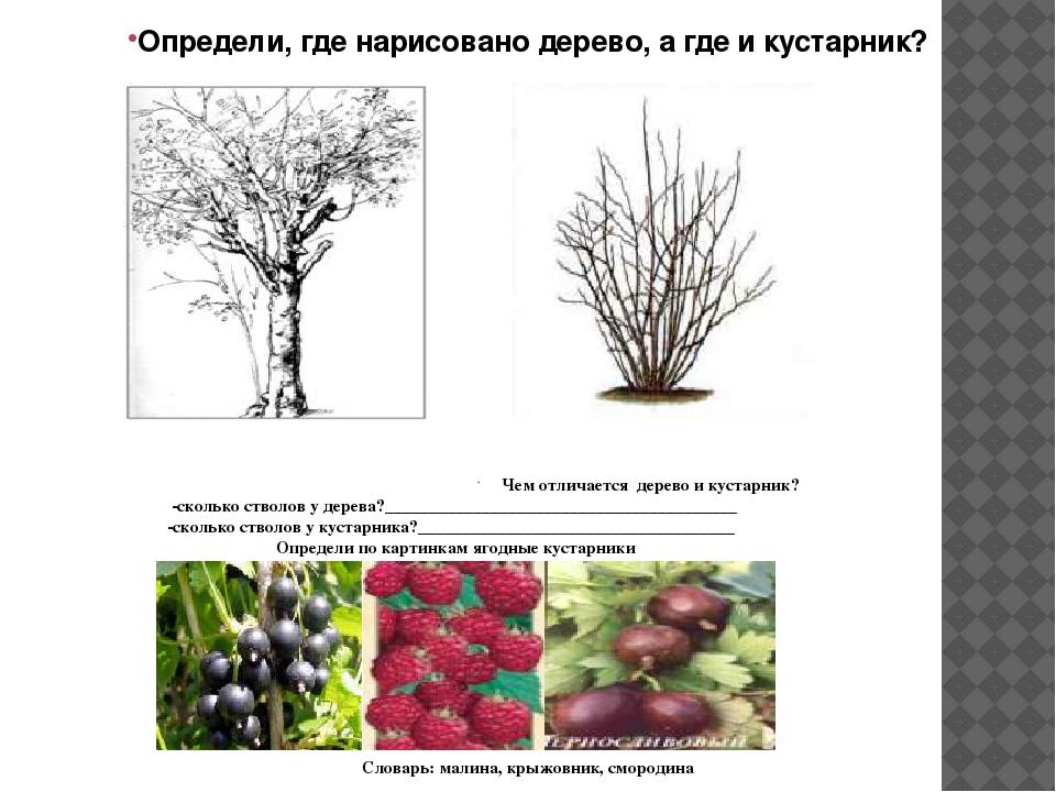 Сравнение деревьев и кустарников