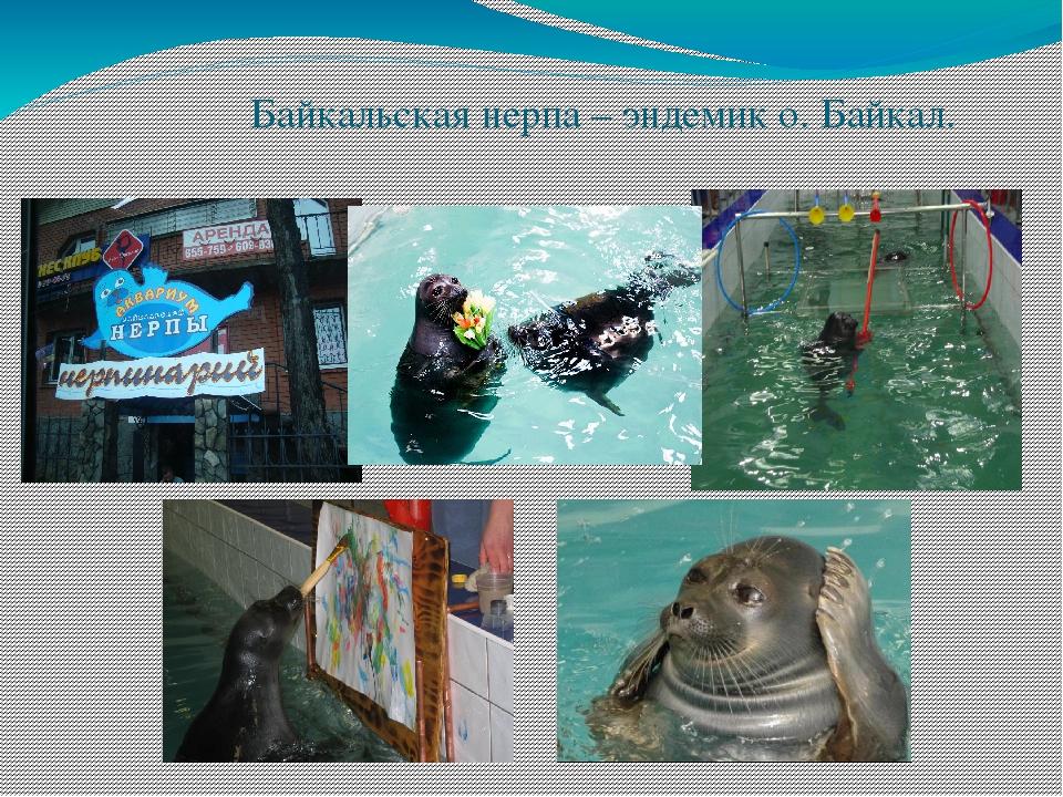 Байкальская нерпа – эндемик о. Байкал.