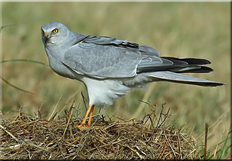 уточните, хищные птицы ульяновской области есть