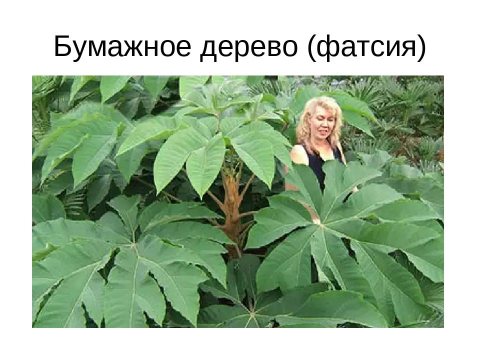 Бумажное дерево (фатсия)