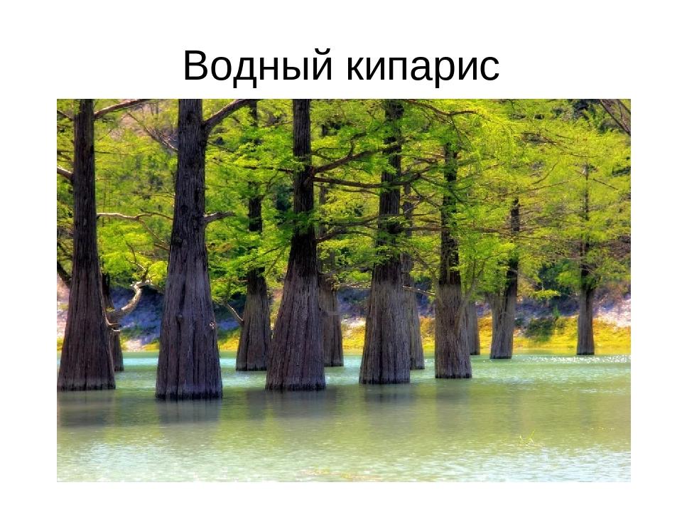 Водный кипарис