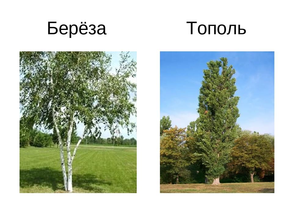 Берёза Тополь