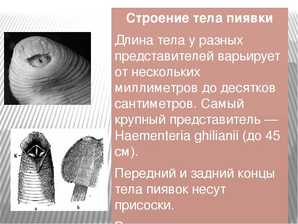 Строение тела пиявки Длина тела у разных представителей варьирует от нескольк...