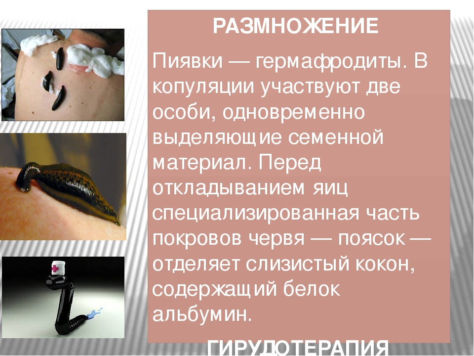 РАЗМНОЖЕНИЕ Пиявки — гермафродиты. В копуляции участвуют две особи, одновреме...