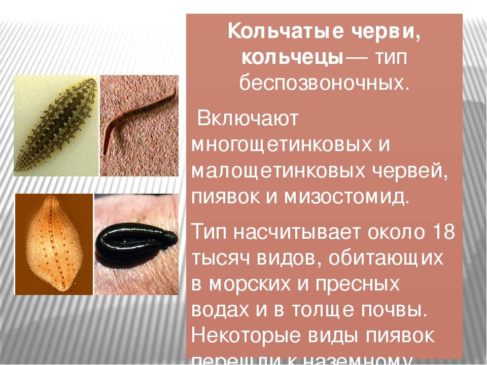 Кольчатые черви, кольчецы́— тип беспозвоночных. Включают многощетинковых и ма...