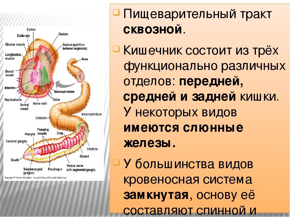 Пищеварительный тракт сквозной. Кишечник состоит из трёх функционально различ...