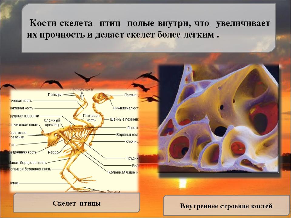 влага отделы скелета у птиц идеале, стоит