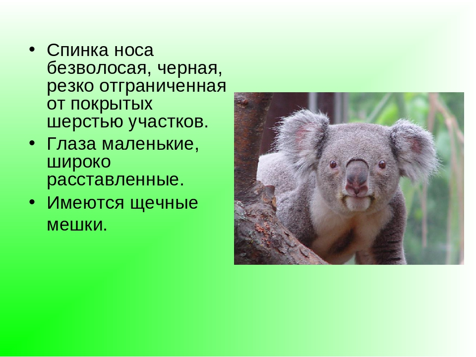 реферат на тему коала с фото фото что сорт