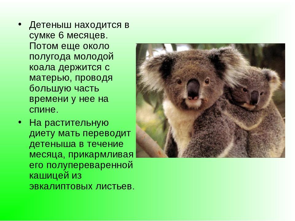 могут реферат на тему коала с фото руси червонцем называли