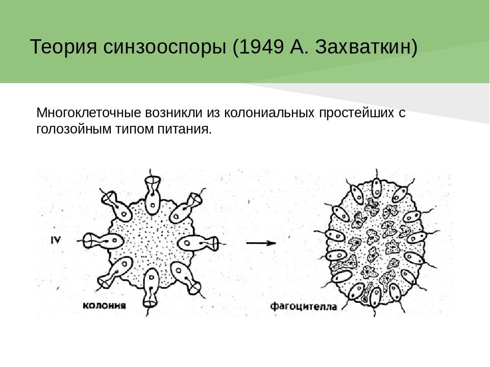 Презентация Гипотезы происхождения многоклеточных  слайда 5 Теория синзооспоры 1949 А Захваткин Многоклеточные возникли из колониальны
