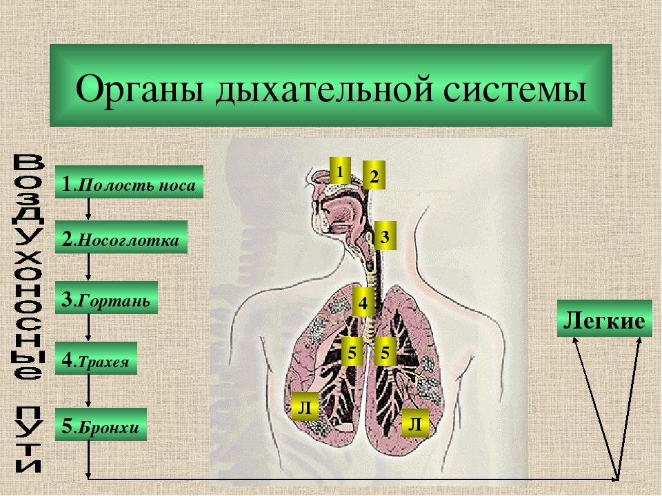Органы дыхательной системы 1.Полость носа 2.Носоглотка 3.Гортань 5.Бронхи 4.Т...