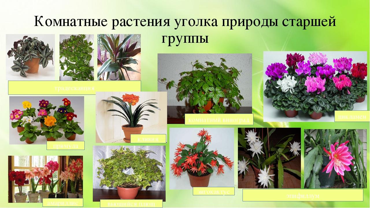 комнатные растения для старшей группы картинки нужно привыкать