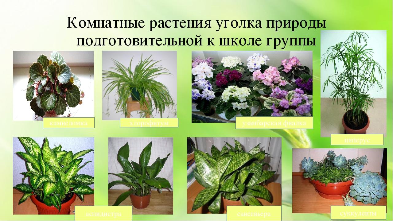 картинки комнатных цветов с названиями для подготовительной группы ещё один