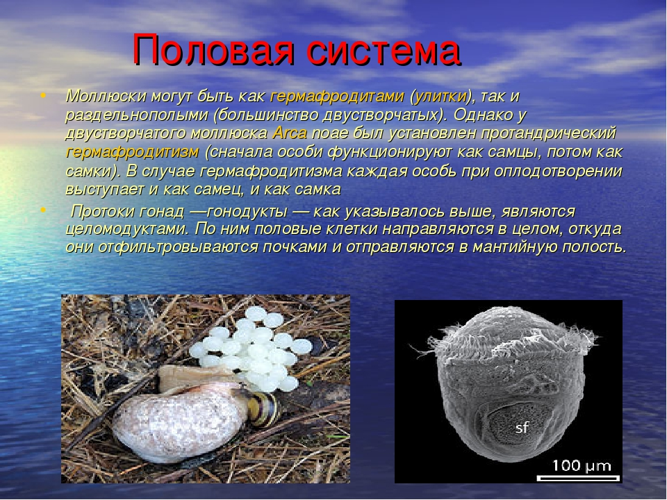 Половая система Моллюски могут быть какгермафродитами(улитки), так и разде...
